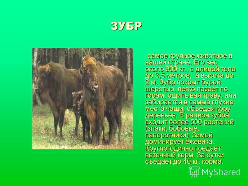 ЗУБР самое крупное животное в нашей стране. Его вес около 900 кг., с длиной тела до 3,5 метров, а высота до 2 м. Зубр покрыт бурой шерстью, легко лазает по горам, ощипывая траву, или забирается в самые глухие места чащи, объедая кору деревьев. В раци
