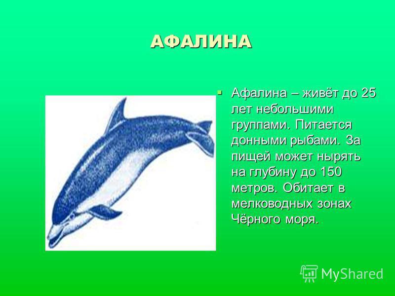 АФАЛИНА Афалина – живёт до 25 лет небольшими группами. Питается донными рыбами. За пищей может нырять на глубину до 150 метров. Обитает в мелководных зонах Чёрного моря. Афалина – живёт до 25 лет небольшими группами. Питается донными рыбами. За пищей