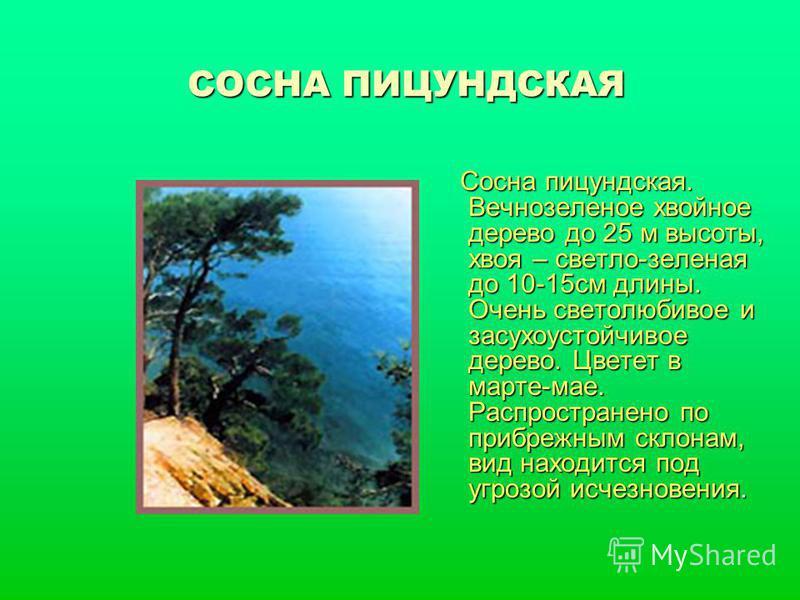 СОСНА ПИЦУНДСКАЯ Сосна пицундская. Вечнозеленое хвойное дерево до 25 м высоты, хвоя – светло-зеленая до 10-15 см длины. Очень светолюбивое и засухоустойчивое дерево. Цветет в марте-мае. Распространено по прибрежным склонам, вид находится под угрозой