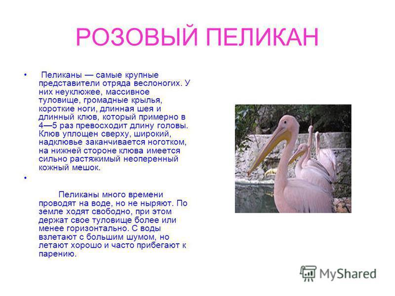 РОЗОВЫЙ ПЕЛИКАН Пеликаны самые крупные представители отряда веслоногих. У них неуклюжее, массивное туловище, громадные крылья, короткие ноги, длинная шея и длинный клюв, который примерно в 45 раз превосходит длину головы. Клюв уплощен сверху, широкий