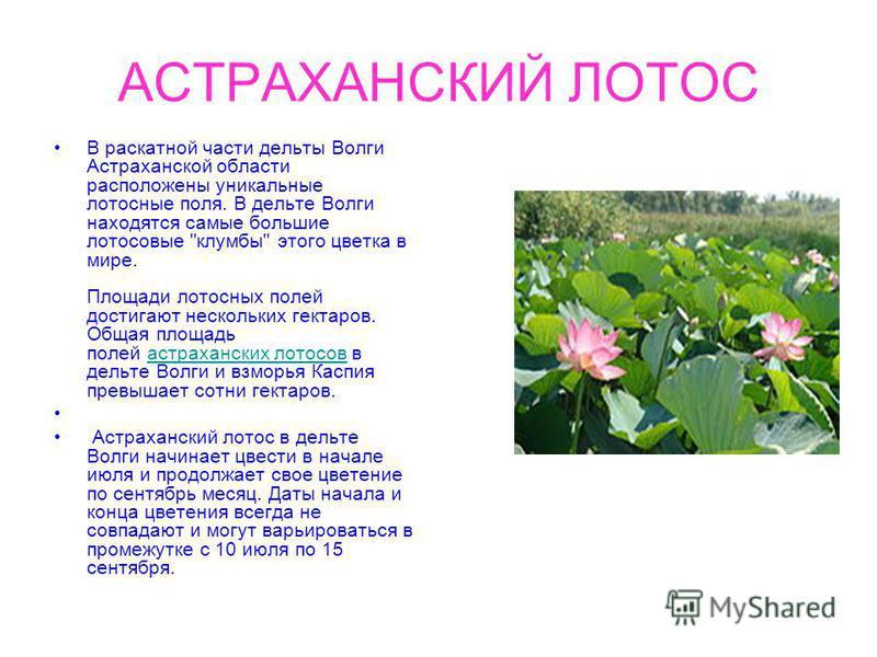 АСТРАХАНСКИЙ ЛОТОС В раскатной части дельты Волги Астраханской области расположены уникальные лотосные поля. В дельте Волги находятся самые большие лотосовые