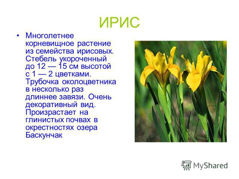 ИРИС Многолетнее корневищное растение из семейства ирисовых. Стебель укороченный до 12 15 см высотой с 1 2 цветками. Трубочка околоцветника в несколько раз длиннее завязи. Очень декоративный вид. Произрастает на глинистых почвах в окрестностях озера