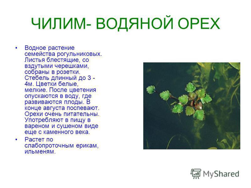 ЧИЛИМ- ВОДЯНОЙ ОРЕХ Водное растение семейства рогульниковых. Листья блестящие, со вздутыми черешками, собраны в розетки. Стебель длинный до 3 - 4 м. Цветки белые, мелкие. После цветения опускаются в воду, где развиваются плоды. В конце августа поспев