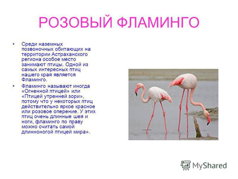 РОЗОВЫЙ ФЛАМИНГО Среди наземных позвоночных обитающих на территории Астраханского региона особое место занимают птицы. Одной из самых интересных птиц нашего края является Фламинго. Фламинго называют иногда «Огненной птицей» или «Птицей утренней зори»