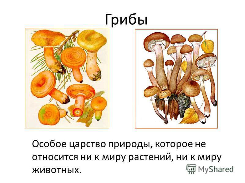 Грибы Особое царство природы, которое не относится ни к миру растений, ни к миру животных.