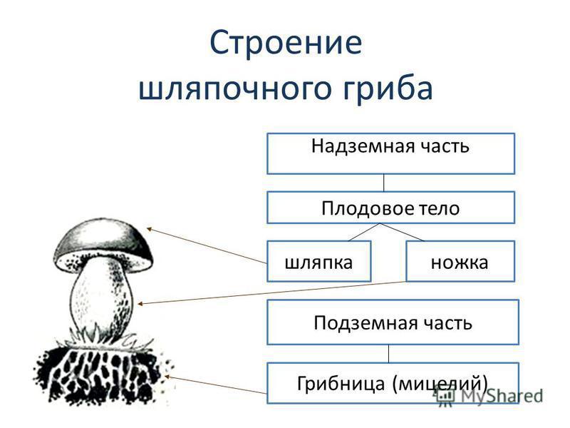 Строение шляпочного гриба Надземная часть Плодовое тело шляпка ножка Подземная часть Грибница (мицелий)