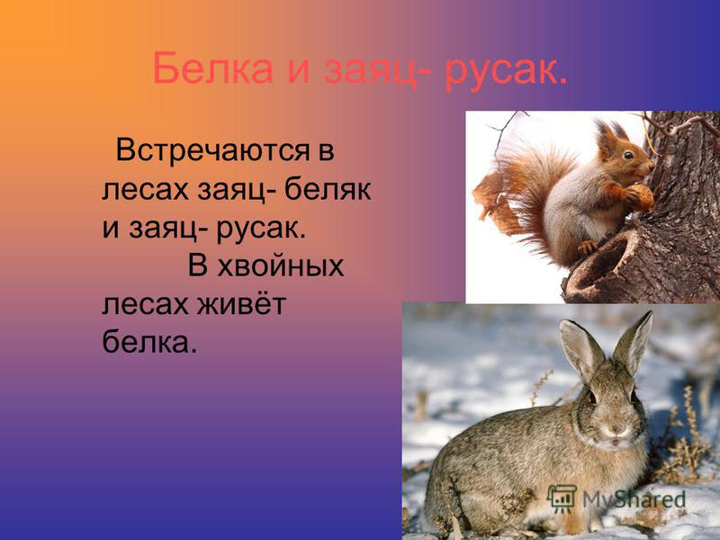 Белка и заяц- русак. Встречаются в лесах заяц- беляк и заяц- русак. В хвойных лесах живёт белка.