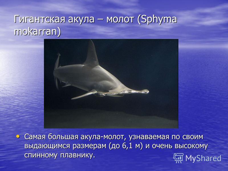 Гигантская акула – молот (Sphyma mokarran) Самая большая акула-молот, узнаваемая по своим выдающимся размерам (до 6,1 м) и очень высокому спинному плавнику. Самая большая акула-молот, узнаваемая по своим выдающимся размерам (до 6,1 м) и очень высоком