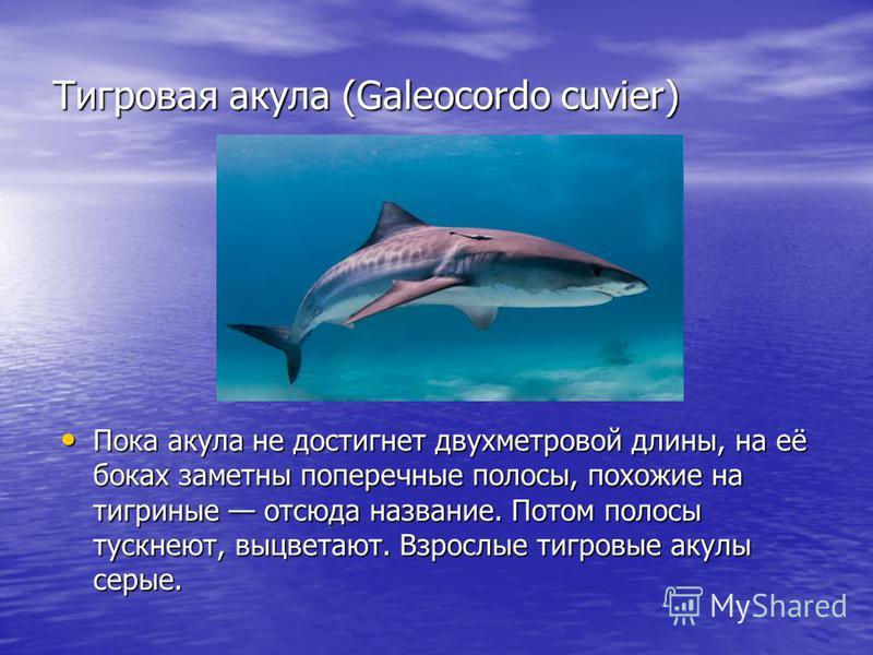 Тигровая акула (Galeocordo cuvier) Пока акула не достигнет двухметровой длины, на её боках заметны поперечные полосы, похожие на тигриные отсюда название. Потом полосы тускнеют, выцветают. Взрослые тигровые акулы серые.