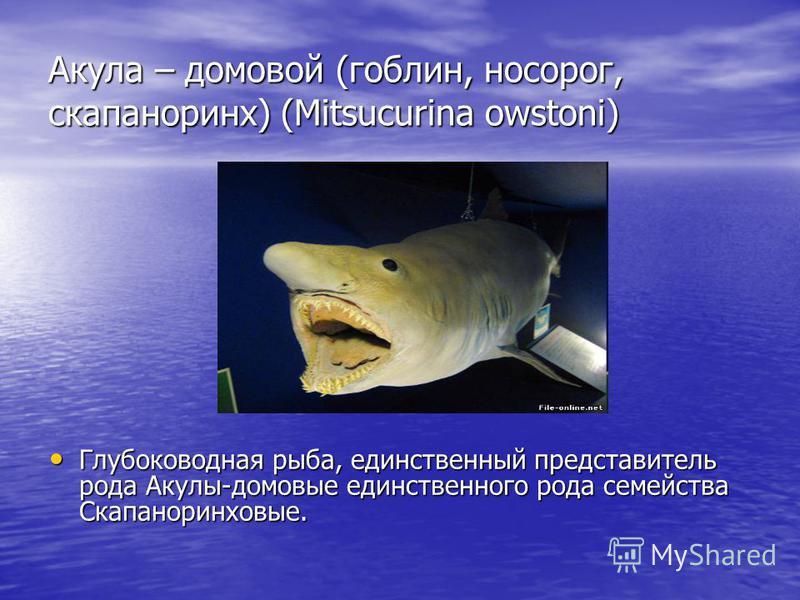 Акула – домовой (гоблин, носорог, скапаноринх) (Mitsucurina owstoni) Глубоководная рыба, единственный представитель рода Акулы-домовые единственного рода семейства Скапаноринховые.