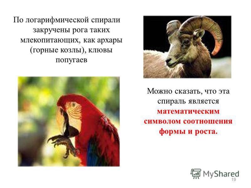 По логарифмической спирали закручены рога таких млекопитающих, как архары (горные козлы), клювы попугаев 19 Можно сказать, что эта спираль является математическим символом соотношения формы и роста.