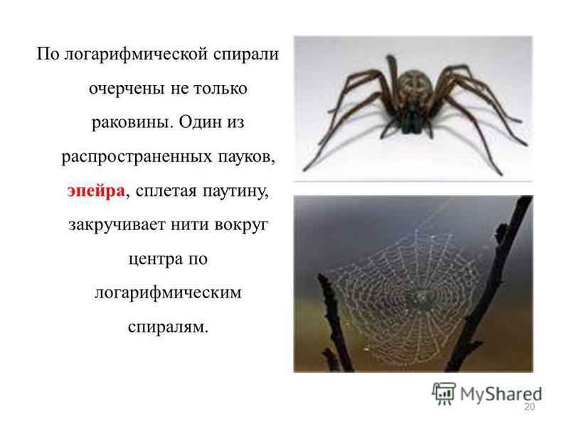 По логарифмической спирали очерчены не только раковины. Один из распространенных пауков, эпейра, сплетая паутину, закручивает нити вокруг центра по логарифмическим спиралям. 20