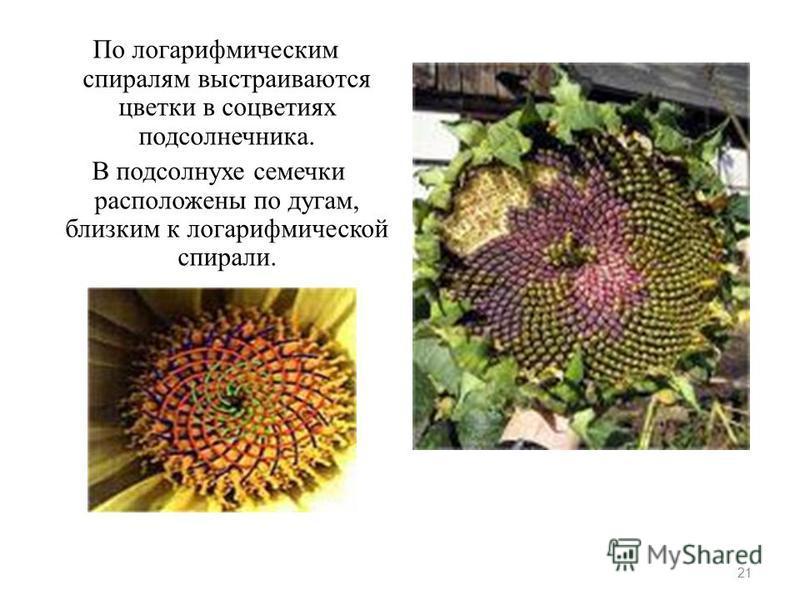 По логарифмическим спиралям выстраиваются цветки в соцветиях подсолнечника. В подсолнухе семечки расположены по дугам, близким к логарифмической спирали. 21