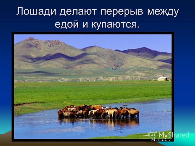 Лошади делают перерыв между едой и купаются.