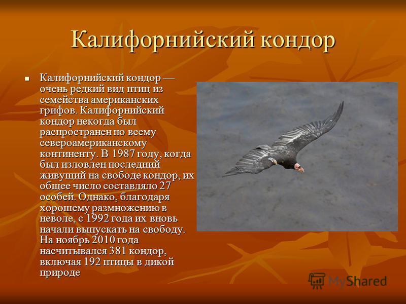 Калифорнийский кондор Калифорнийский кондор очень редкий вид птиц из семейства американских грифов. Калифорнийский кондор некогда был распространен по всему североамериканскому континенту. В 1987 году, когда был изловлен последний живущий на свободе