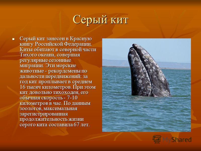 Серый кит Серый кит занесен в Красную книгу Российской Федерации. Киты обитают в северной части Тихого океана, совершая регулярные сезонные миграции. Эти морские животные - рекордсмены по дальности передвижений: за год кит проплывает в среднем 16 тыс
