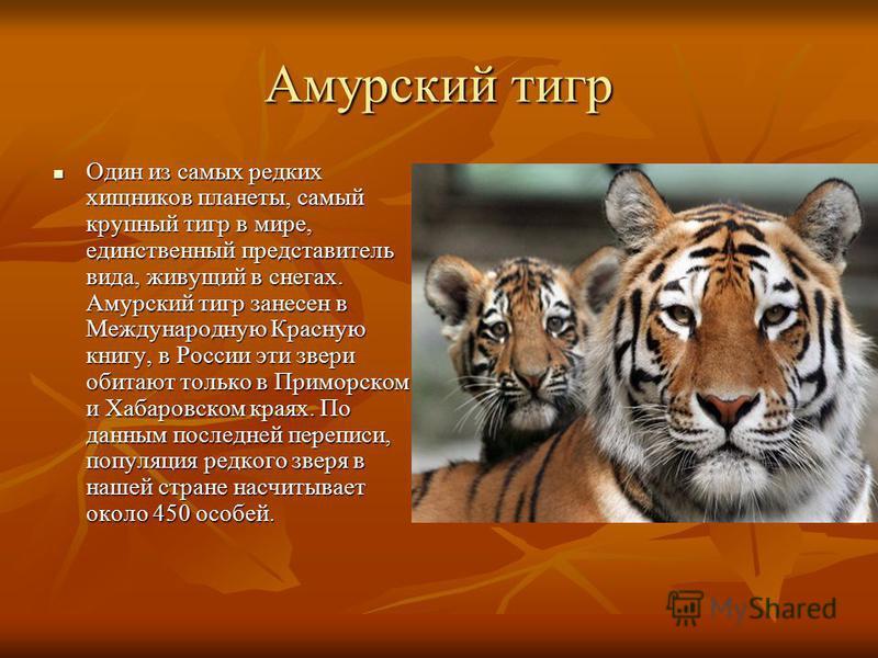 Амурский тигр Один из самых редких хищников планеты, самый крупный тигр в мире, единственный представитель вида, живущий в снегах. Амурский тигр занесен в Международную Красную книгу, в России эти звери обитают только в Приморском и Хабаровском краях