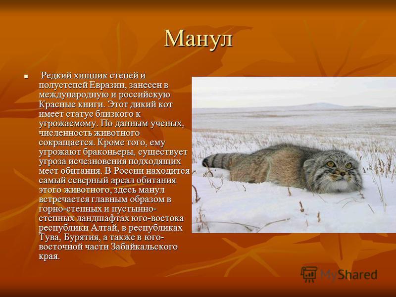 Манул Редкий хищник степей и полу степей Евразии, занесен в международную и российскую Красные книги. Этот дикий кот имеет статус близкого к угрожаемому. По данным ученых, численность животного сокращается. Кроме того, ему угрожают браконьеры, сущест