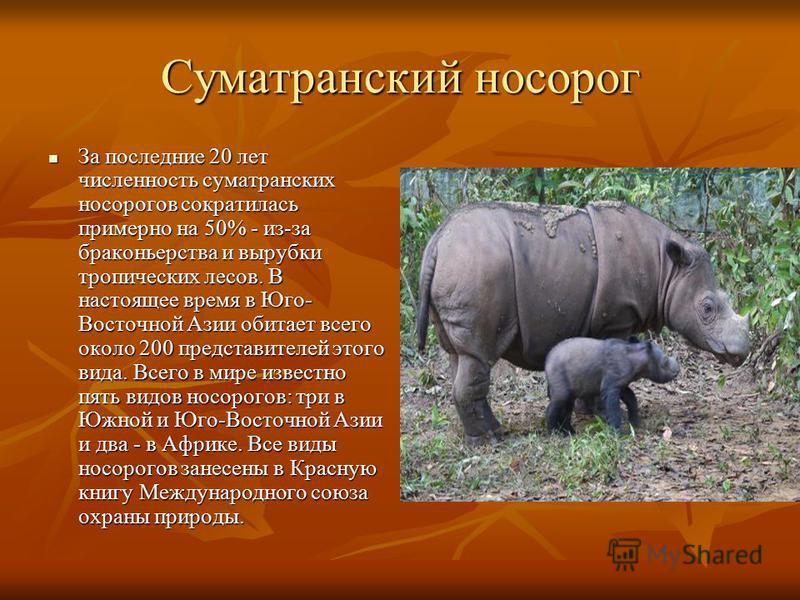 Суматранский носорог За последние 20 лет численность суматранских носорогов сократилась примерно на 50% - из-за браконьерства и вырубки тропических лесов. В настоящее время в Юго- Восточной Азии обитает всего около 200 представителей этого вида. Всег