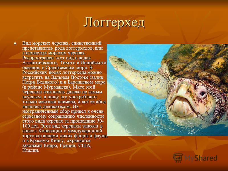 Логгерхед Вид морских черепах, единственный представитель рода логгерхедов, или головастых морских черепах. Распространен этот вид в водах Атлантического, Тихого и Индийского океанов, в Средиземном море. В Российских водах логгерхеда можно встретить