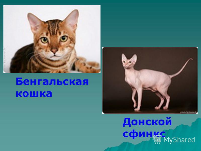 Бенгальская кошка Донской сфинкс