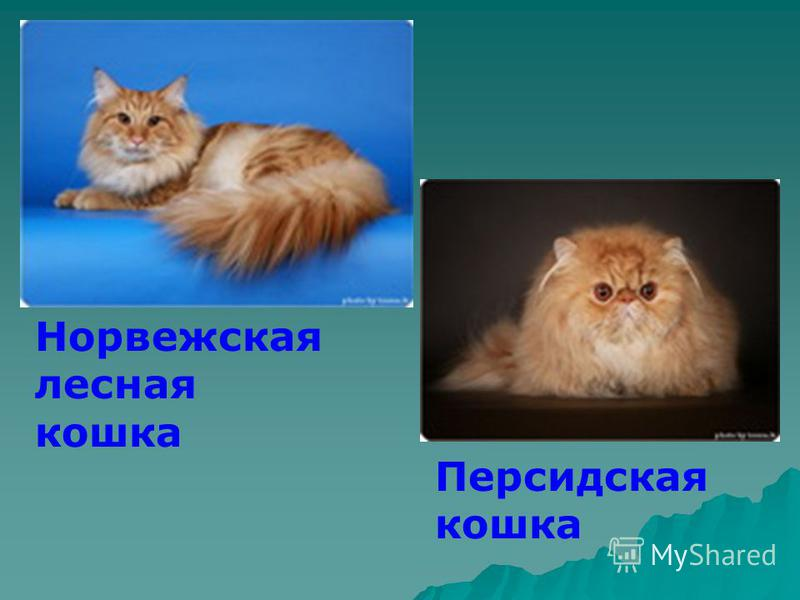 Норвежская лесная кошка Персидская кошка