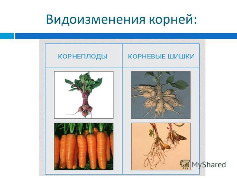 Видоизменения корней :
