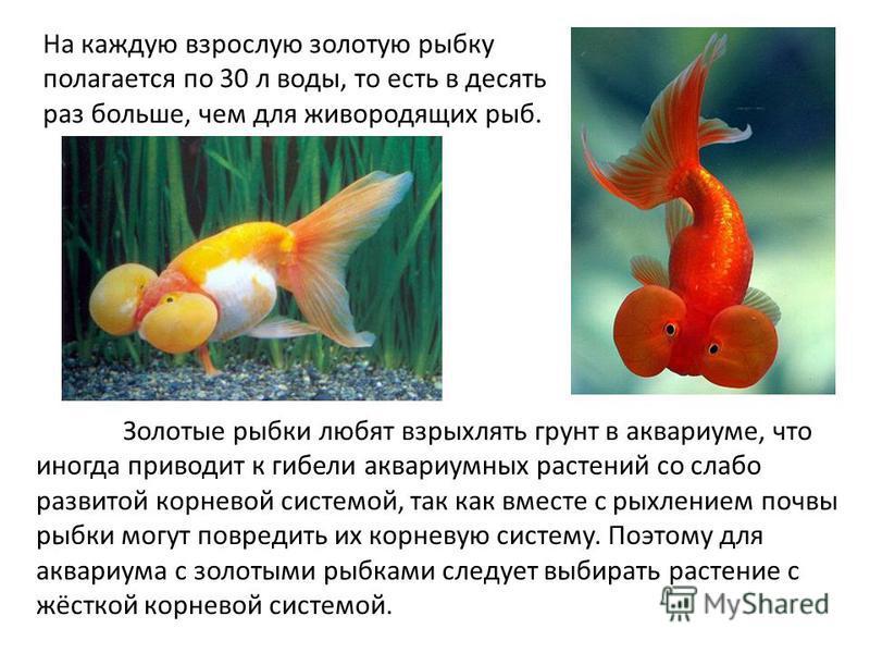 На каждую взрослую золотую рыбку полагается по 30 л воды, то есть в десять раз больше, чем для живородящих рыб. Золотые рыбки любят взрыхлять грунт в аквариуме, что иногда приводит к гибели аквариумных растений со слабо развитой корневой системой, та