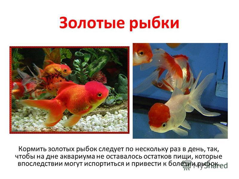 Золотые рыбки Кормить золотых рыбок следует по нескольку раз в день, так, чтобы на дне аквариума не оставалось остатков пищи, которые впоследствии могут испортиться и привести к болезни рыбок.