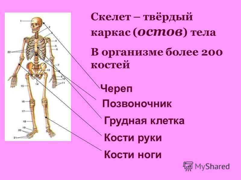 Скелет – твёрдый каркас ( остов ) тела В организме более 200 костей Череп Позвоночник Грудная клетка Кости руки Кости ноги