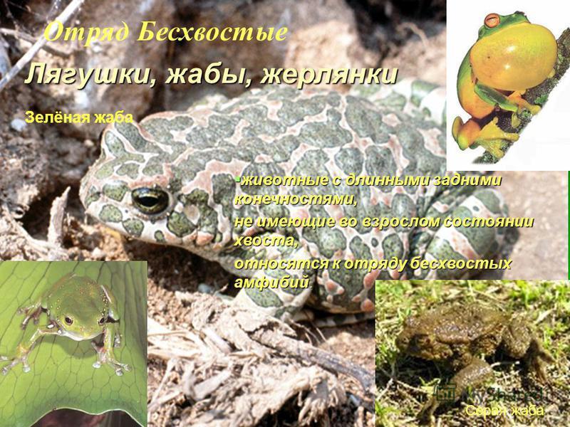 Зелёная жаба Серая жаба Лягушки, жабы, жерлянки животные с длинными задними конечностями, животные с длинными задними конечностями, не имеющие во взрослом состоянии хвоста, относятся к отряду бесхвостых амфибий. Отряд Бесхвостые