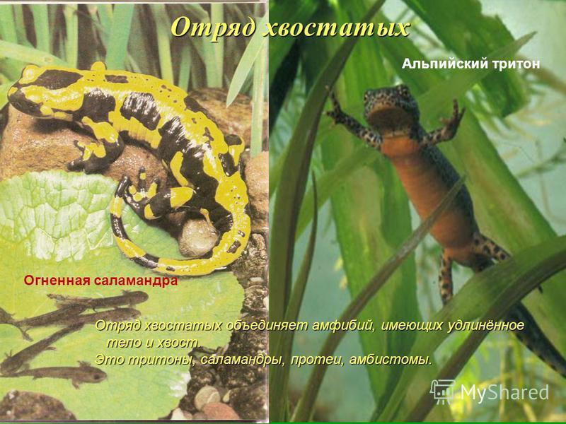 Отряд хвостатых Отряд хвостатых объединяет амфибий, имеющих удлинённое тело и хвост. тело и хвост. Это тритоны, саламандры, протеи, амбистомы. Альпийский тритон Огненная саламандра