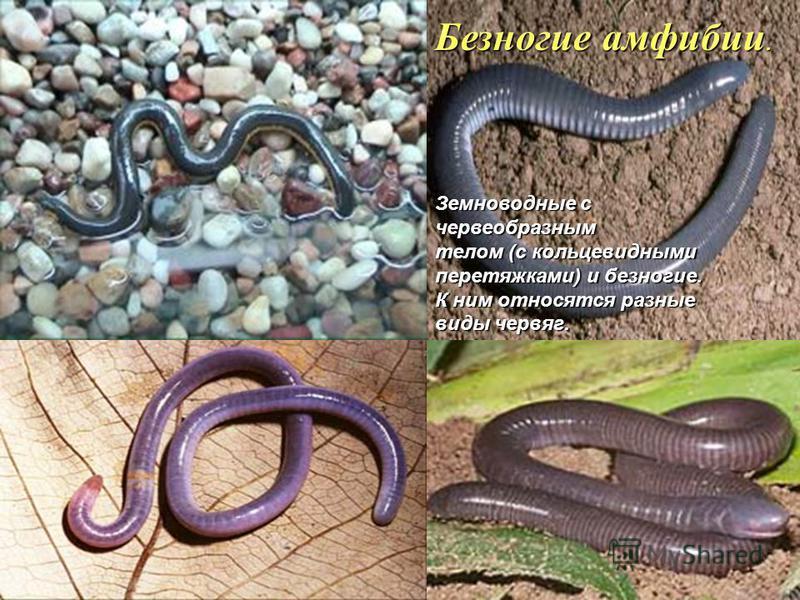 Безногие амфибии. Земноводные с червеобразным телом (с кольцевидными перетяжками) и безногие. К ним относятся разные виды червяг.