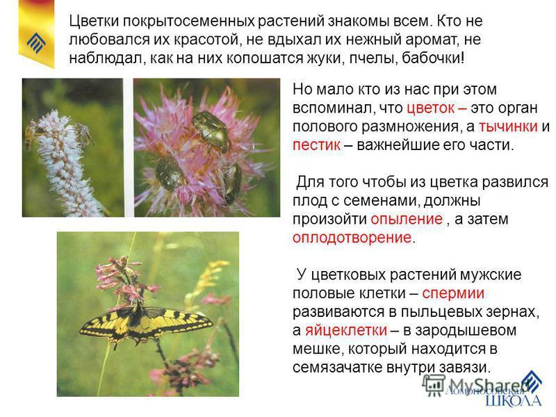 Цветки покрытосеменных растений знакомы всем. Кто не любовался их красотой, не вдыхал их нежный аромат, не наблюдал, как на них копошатся жуки, пчелы, бабочки! Но мало кто из нас при этом вспоминал, что цветок – это орган полового размножения, а тычи