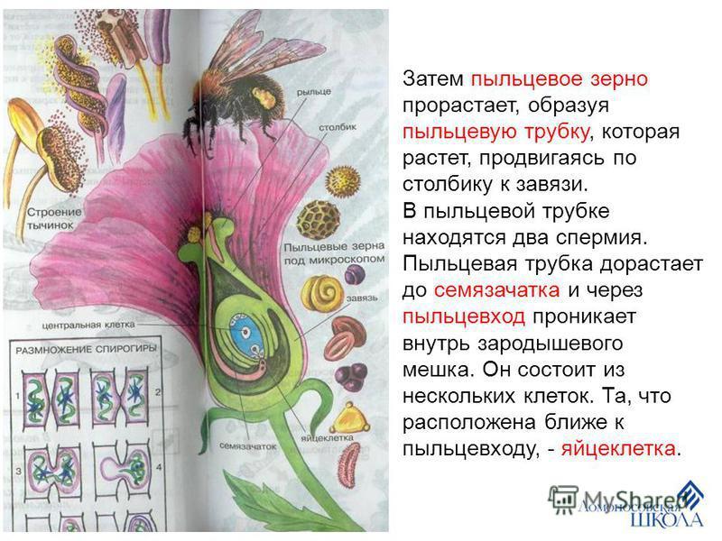 Затем пыльцевое зерно прорастает, образуя пыльцевую трубку, которая растет, продвигаясь по столбику к завязи. В пыльцевой трубке находятся два спермия. Пыльцевая трубка дорастает до семязачатка и через пыльцевход проникает внутрь зародышевого мешка.