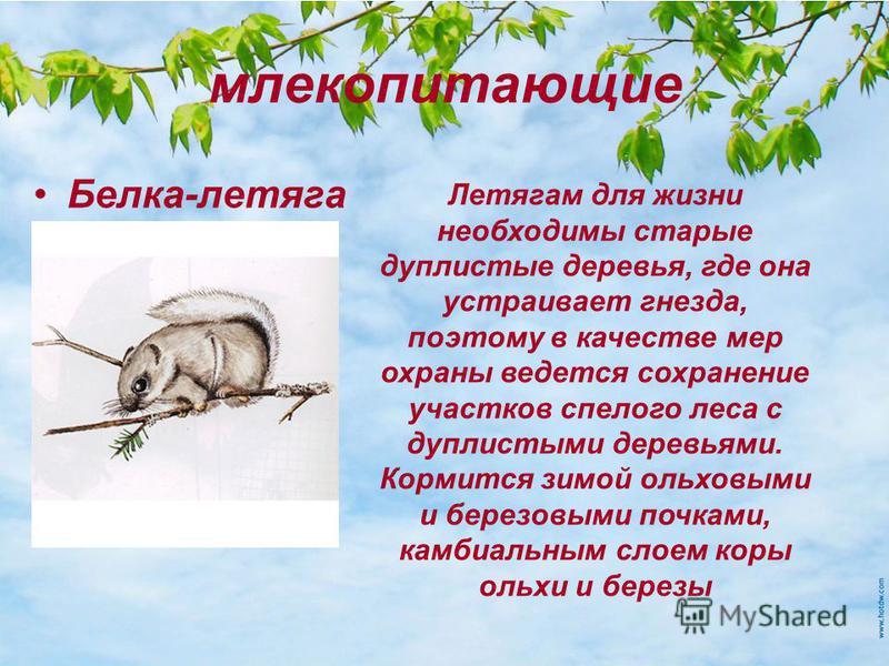 млекопитающие Белка-летяга Летягам для жизни необходимы старые дуплистые деревья, где она устраивает гнезда, поэтому в качестве мер охраны ведется сохранение участков спелого леса с дуплистыми деревьями. Кормится зимой ольховыми и березовыми почками,