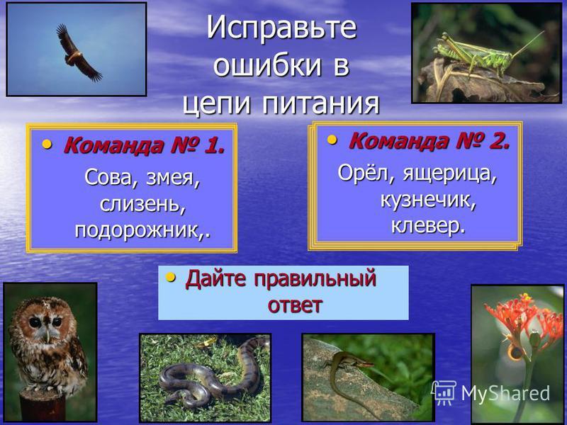 Исправьте ошибки в цепи питания Дайте правильный Дайте правильный ответ ответ Команда 1. Команда 1. Сова, змея, подорожник, слизень. Сова, змея, подорожник, слизень. Команда 2. Команда 2. Кузнечик, орёл, ящерица, клевер. Кузнечик, орёл, ящерица, клев
