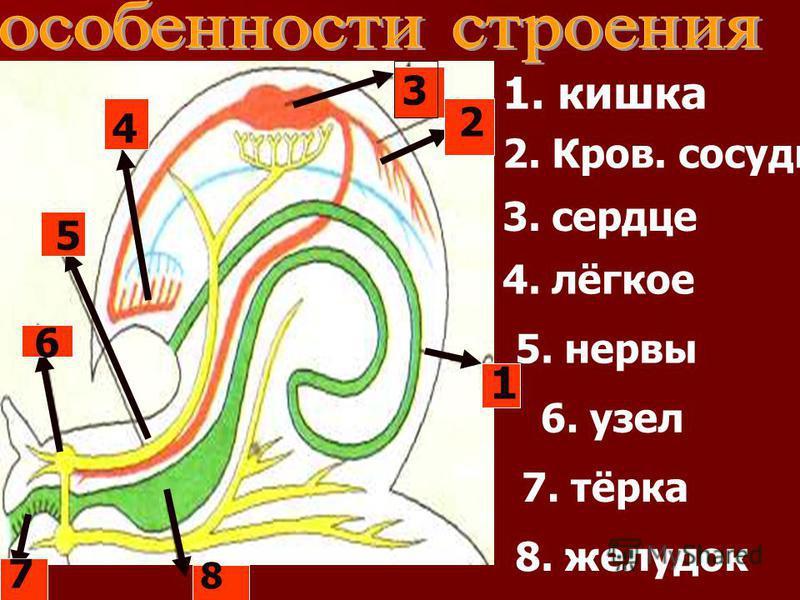 6 1 2 3 4 5 7 8 1. кишка 2. Кров. сосуды 3. сердце 4. лёгкое 5. нервы 6. узел 7. тёрка 8. желудок
