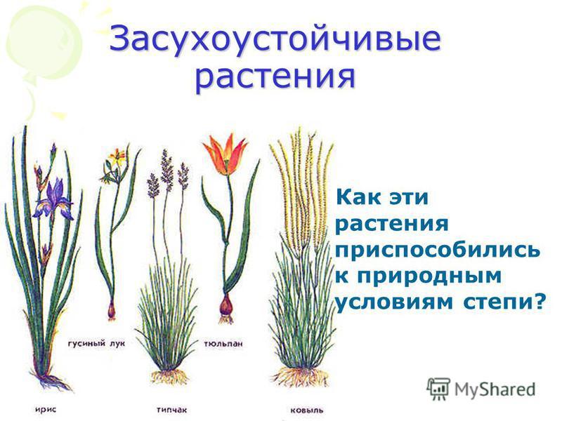 Засухоустойчивые растения Как эти растения приспособились к природным условиям степи?