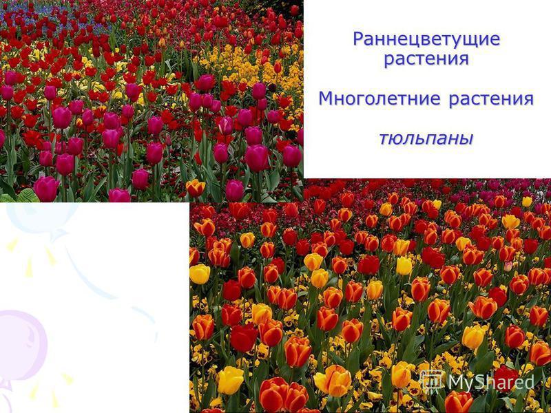 Раннецветущие растения Многолетние растения тюльпаны