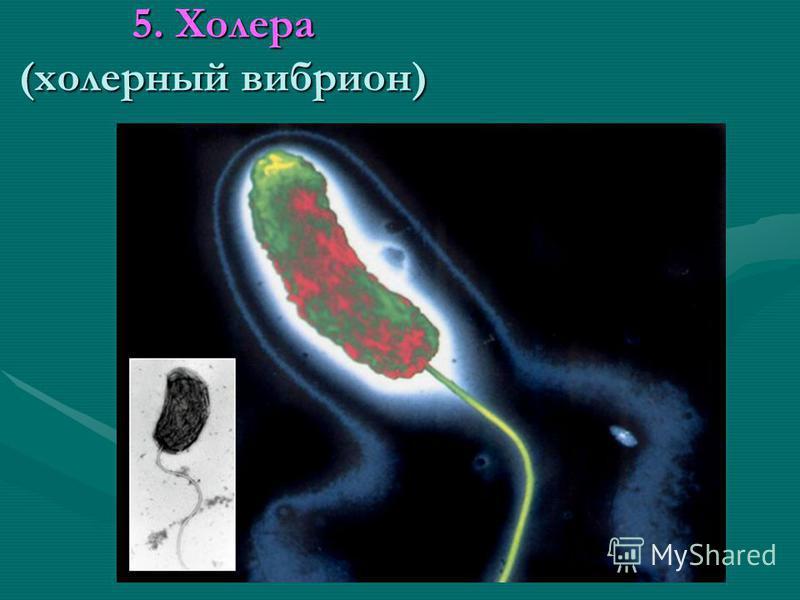 5. Холера (холерный вибрион)
