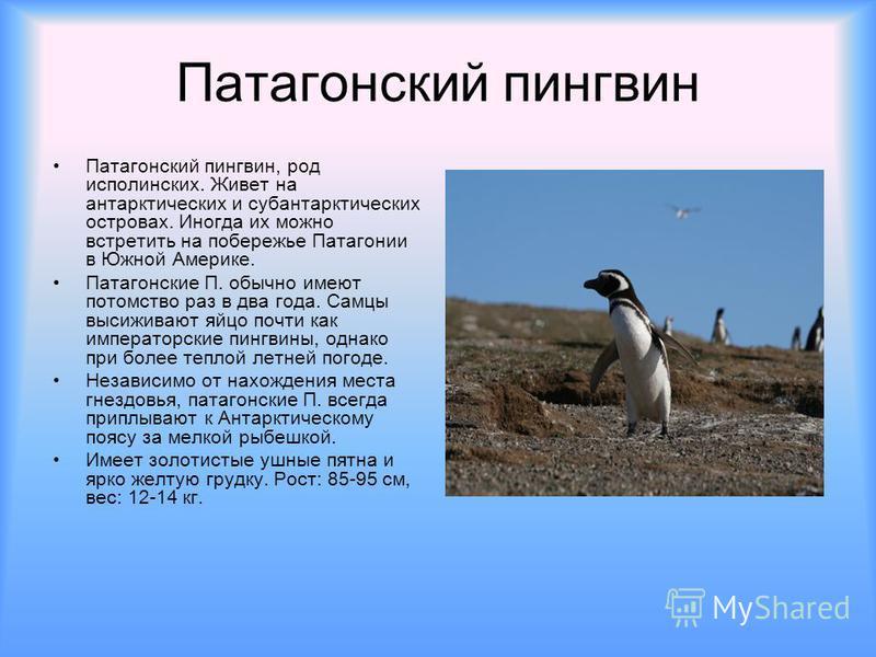 Патагонский пингвин Патагонский пингвин, род исполинских. Живет на антарктических и субантарктических островах. Иногда их можно встретить на побережье Патагонии в Южной Америке. Патагонские П. обычно имеют потомство раз в два года. Самцы высиживают я