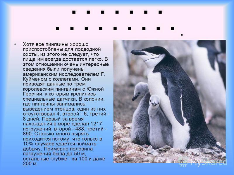 П. Хотя все пингвины хорошо приспостоблены для подводной охоты, из этого не следует, что пища им всегда достается легко. В этом отношении очень интересные сведения были получены американским исследователем Г. Куйменом с коллегами. Они приводят данные