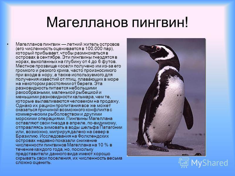 Магелланов пингвин! Магелланов пингвин летний житель островов (его численность оценивается в 100,000 пар), который прибывает, чтобы размножаться в островах в сентябре. Эти пингвины гнездятся в норах, выкопанных на глубину от 4 до 6 футов. Местное про