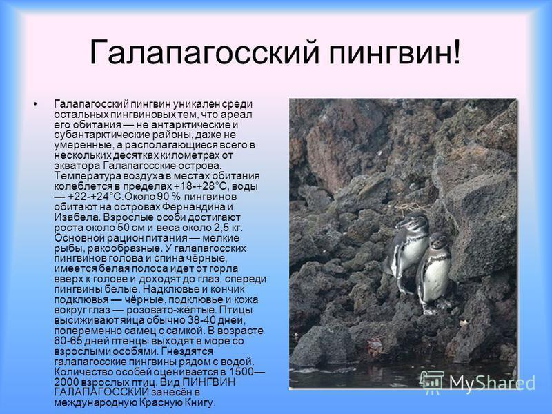 Галапагосский пингвин! Галапагосский пингвин уникален среди остальных пингвин новых тем, что ареал его обитания не антарктические и субантарктические районы, даже не умеренные, а располагающиеся всего в нескольких десятках километрах от экватора Гала