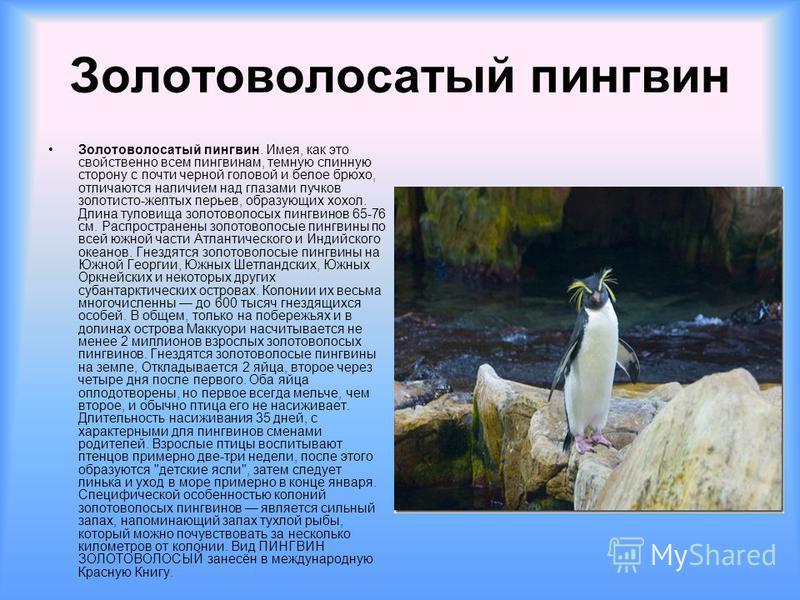 Золотоволосатый пингвин Золотоволосатый пингвин. Имея, как это свойственно всем пингвинам, темную спинную сторону с почти черной головой и белое брюхо, отличаются наличием над глазами пучков золотисто-желтых перьев, образующих хохол. Длина туловища з