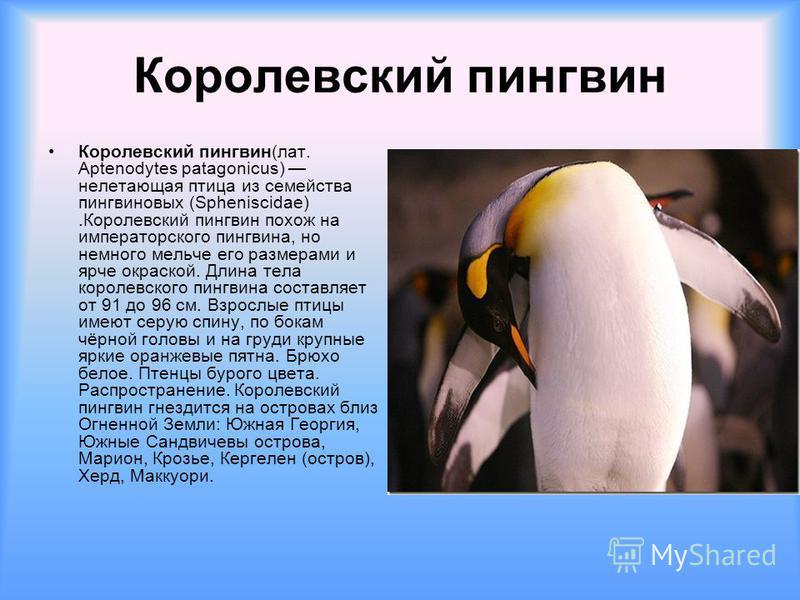 Королевский пингвин Королевский пингвин(лат. Aptenodytes patagonicus) нелетающая птица из семейства пингвин новых (Spheniscidae).Королевский пингвин похож на императорского пингвина, но немного мельче его размерами и ярче окраской. Длина тела королев