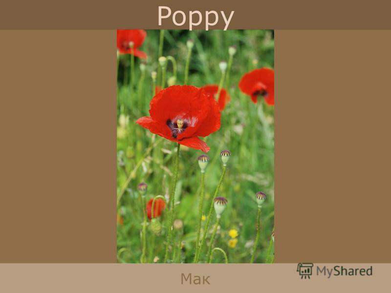 Poppy Мак