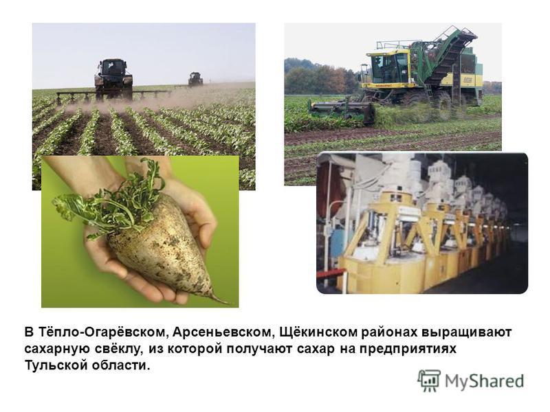 В Тёпло-Огарёвском, Арсеньевском, Щёкинском районах выращивают сахарную свёклу, из которой получают сахар на предприятиях Тульской области.