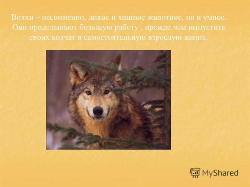 Волки – несомненно, дикое и хищное животное, но и умное. Они проделывают большую работу, прежде чем выпустить своих волчат в самостоятельную взрослую жизнь.
